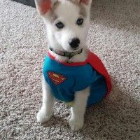 Super chien! #Cosplay #Superman
