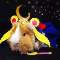 #CochonDInde en #SailorMoon #Animaux